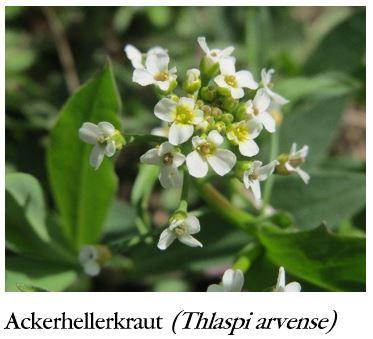Ackerhellerkraut