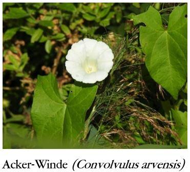 Acker-Winde