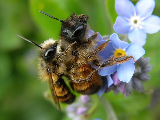 Mauerbienenpärchen