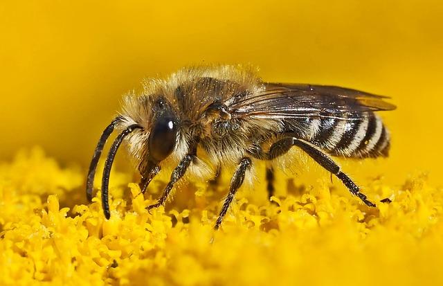 Oligolektische Seidenbiene