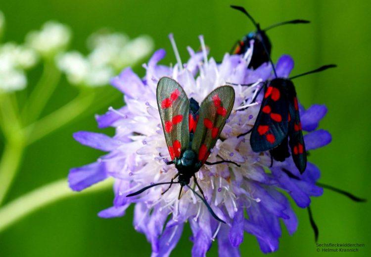 Blumenwiese für Wildbienen