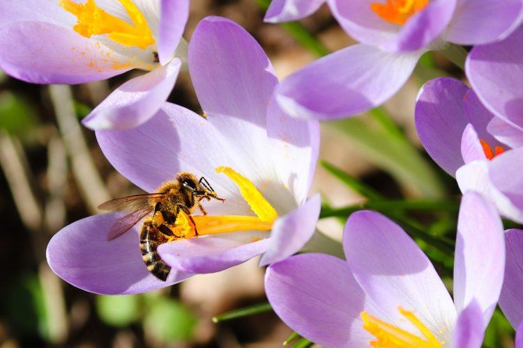 Krokus und Biene