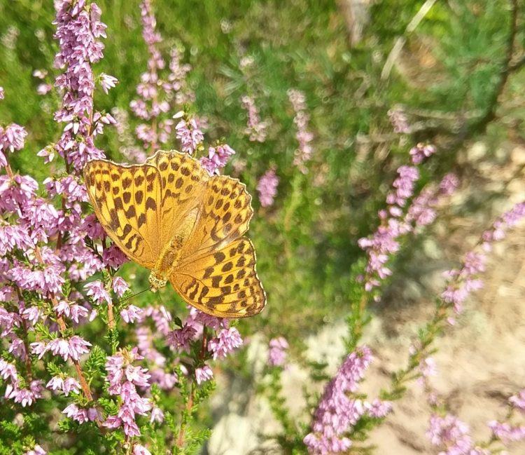 Schmetterling auf Heide