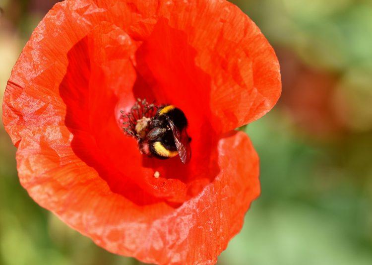 Bumblebee Poppy